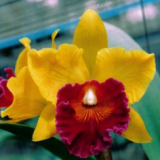 Brassocattleya Patcharee Delight