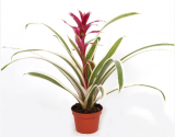 Guzmania Indian Night