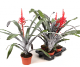 Aechmea Red Berry