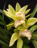 "Cymbidium Trineke ""Green"""