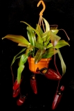 Nepenthes Dark Secret