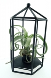 Tillandsia ´Curly Slim´ v kleci