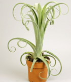 Tillandsia ´Curly SLim´