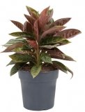 Aglaonema Chocolate