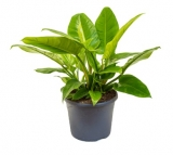 Philodendron 'Imperial Green´ - 50 cm