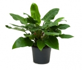 Philodendron 'Imperial Green´ - 90 cm
