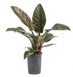 Philodendron 'Imperial Red' - 40 cm - hydroponie
