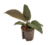 Philodendron 'Imperial Red' - 35 cm - hydroponie