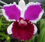 Cattleya Big China