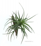 Tillandsia aeranthos ´Green Giant´