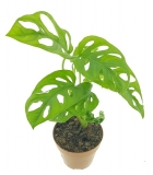Monstera adansonii ´Monkey Mask´