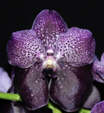 Vanda Robert Delight `Black`
