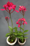 "Epidendrum Crystal Valley ""CT-Red Star"""