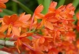 Ascocentrum ampullaceum Orange