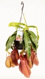 Nepenthes ´Linda´