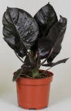 Alocasia infernalis ´Black Magic´