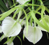 Brassavola ´Little Stars´