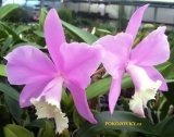 Cattleya Chian-Tzy Loddisong 'Summer Beauty'