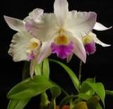 Dialaeliocattleya Village Chief Parfum