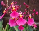 "Oncidium Kutoo ""CT-Little Cherry"""
