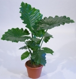 Alocasia ´Green Spike Arrow´