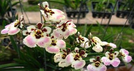 ORCHIDS Plant  Tolumnia Pink Brush FS