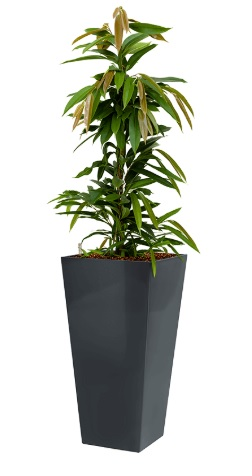 Ficus amstel king + Runner anthracite
