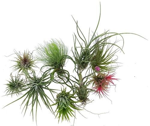 Tillandsia - mix 10 ks
