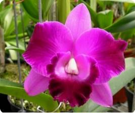 Laeliocattleya Mini Song 'Water'