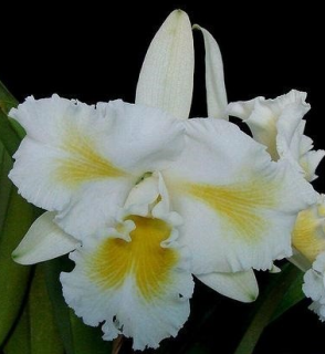 "Laeliocattleya Esbetts Clown ""Blumeninsel"""