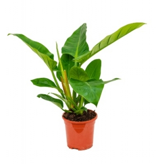 Philodendron 'Imperial Green´ - 65 cm