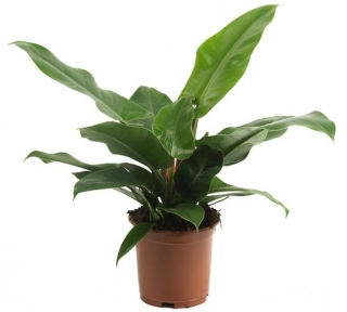 Philodendron 'Imperial Green´