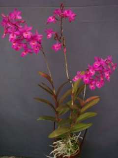 Bardendrum Cyclotella Jerusan 'CT Red Bird'
