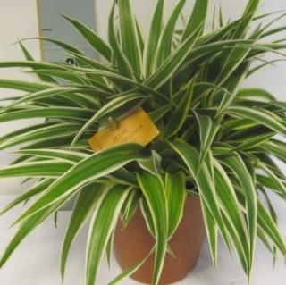 iv rostliny ostatn orchideje pokojov rostliny maso rav rostliny exotick rostliny. Black Bedroom Furniture Sets. Home Design Ideas