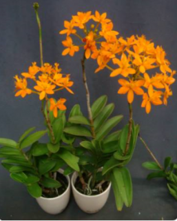Epidendrum radicans CT Vigor