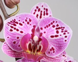 Phalaenopsis ´Beauty´