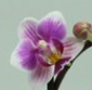 mini Phalaenopsis ´Be Trish´