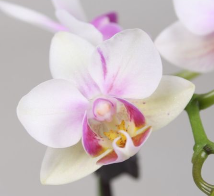 mini Phalaenopsis ´wit-roza Blush´