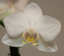 mini Phalaenopsis ´wit´
