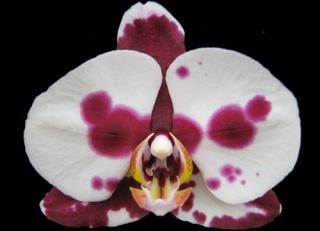 Phalaenopsis ´Big in Japan´