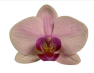 Phalaenopsis ´Alice Girl´