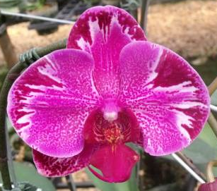 Phalaenopsis Angel Splash