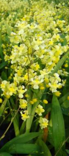 Oncidium Chiou Pin CT Yangtze