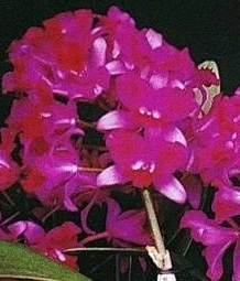 Cattleya Tristar Bouquet