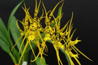 Brassia Rex x Brassada Mivada: big yellow, orange flowers