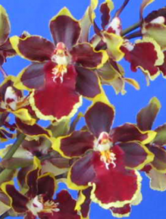 Odontocidium Wildcat Cherry Tomato
