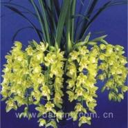 Cymbidium Enzan Sarah Happy Meal