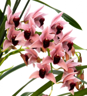 Cymbidium Devon wine ´Million Veil´