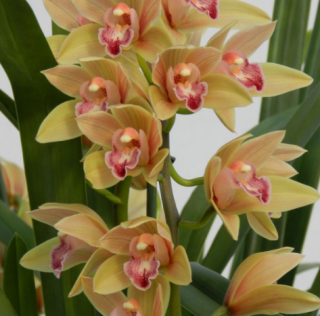 Cymbidium Joan Taylor ´Million Kiss´