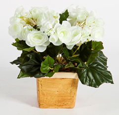 Begonia Bush cream